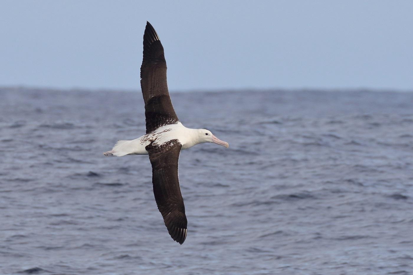 Southern Royal Albatross (Image ID 35672)