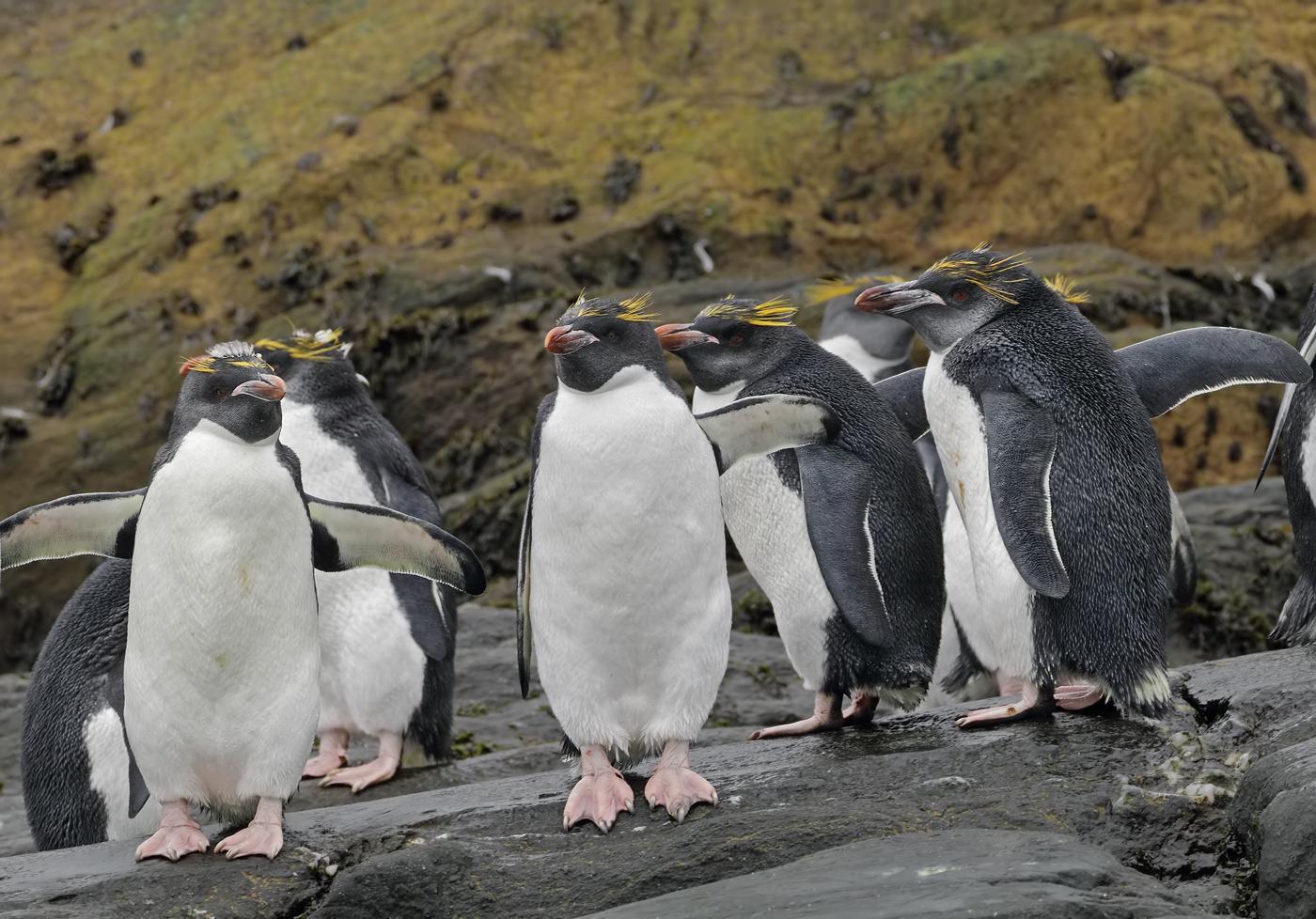 Macaroni Penguin (Image ID 35725)
