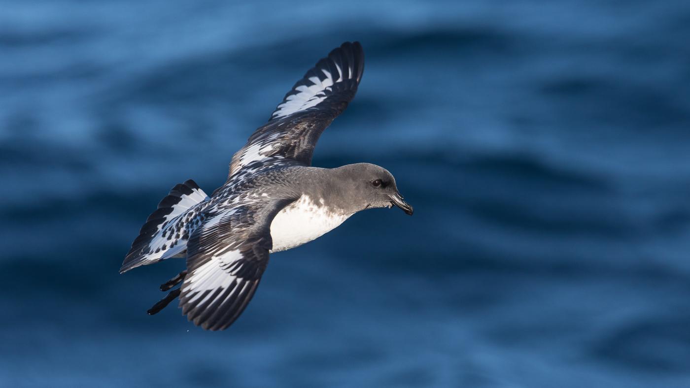 Cape Petrel (Image ID 35894)