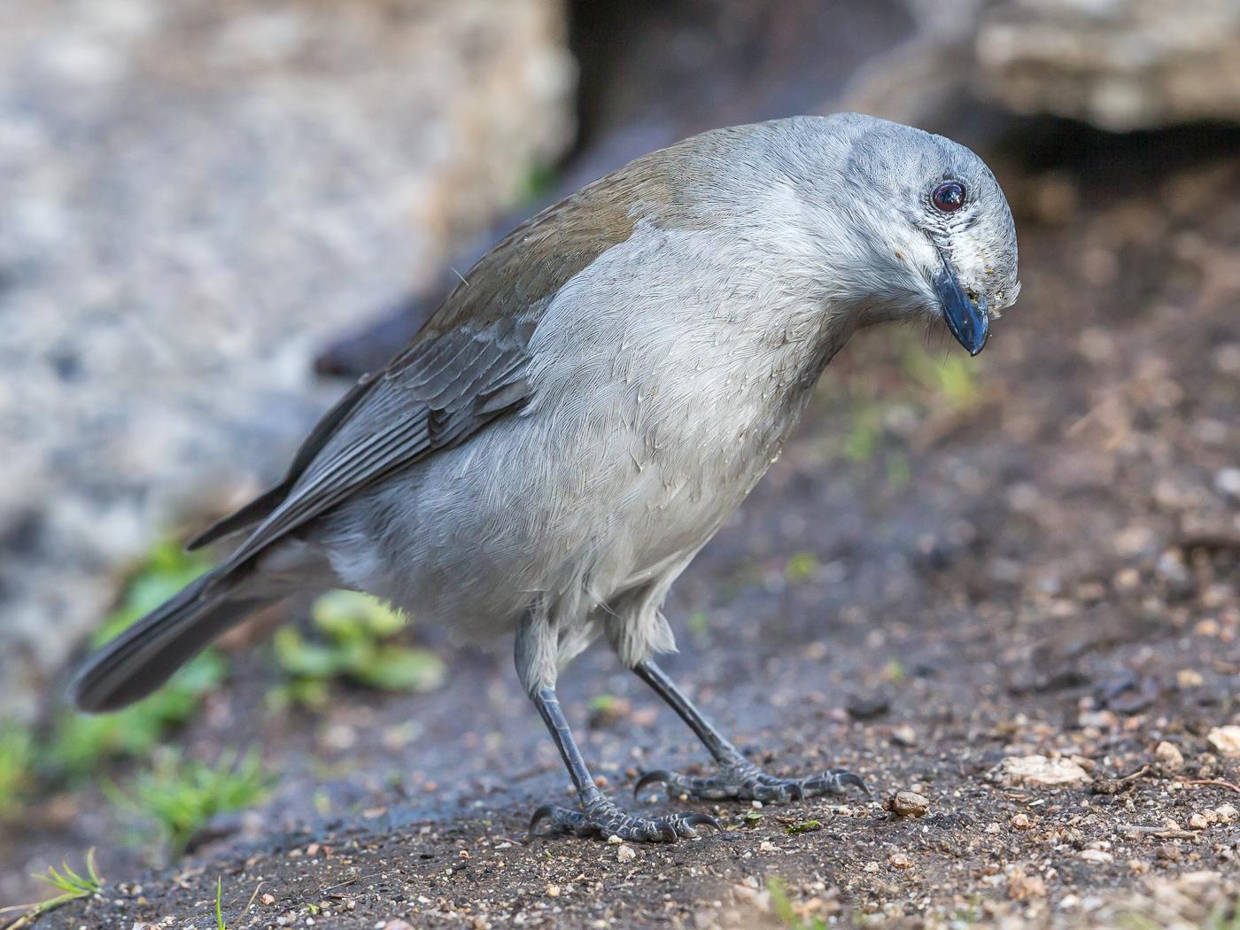 Grey Shrike-thrush (Image ID 35855)