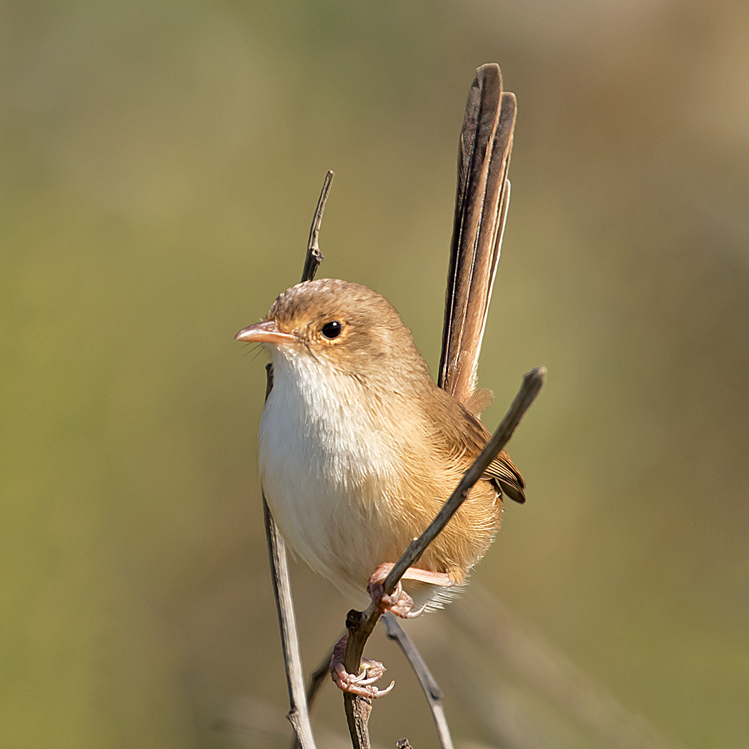 Red-backed Fairy-wren (Image ID 35705)