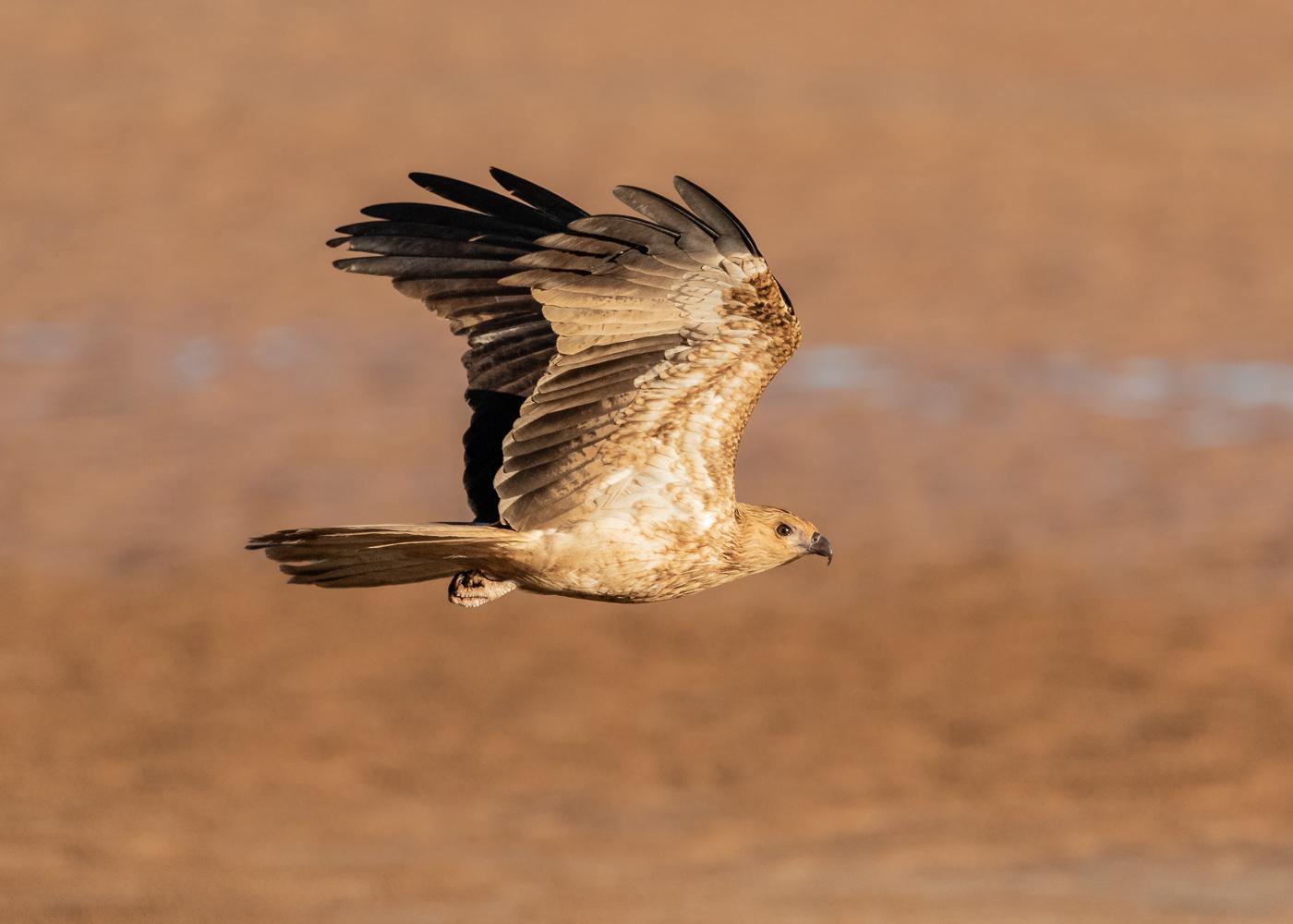 Whistling Kite (Image ID 35749)