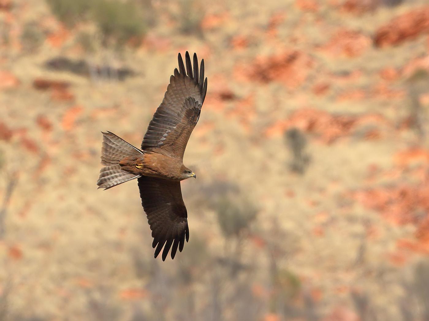 Black Kite (Image ID 35841)