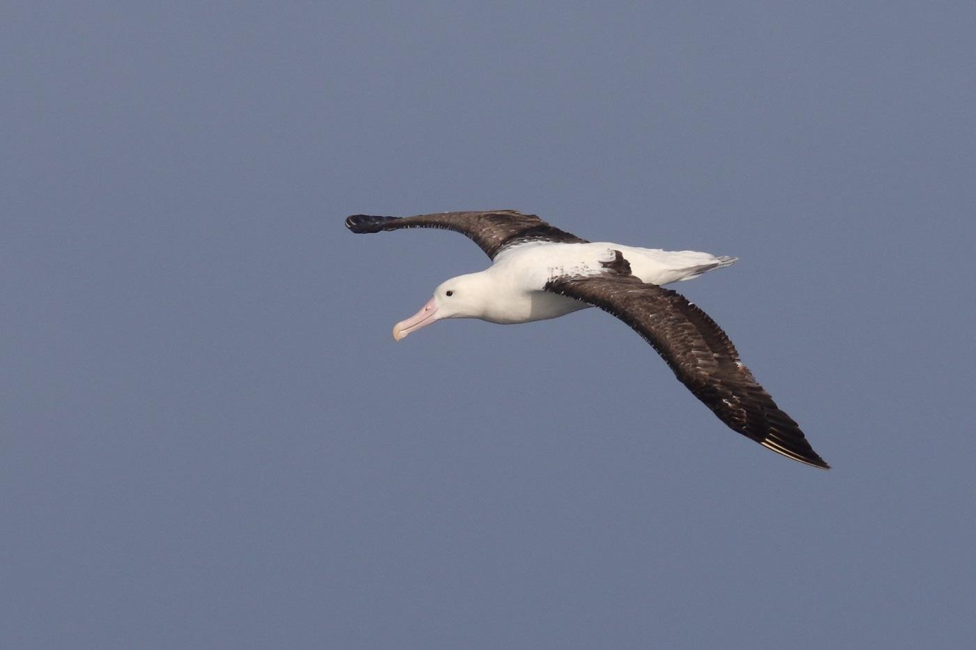 Northern Royal Albatross (Image ID 35671)