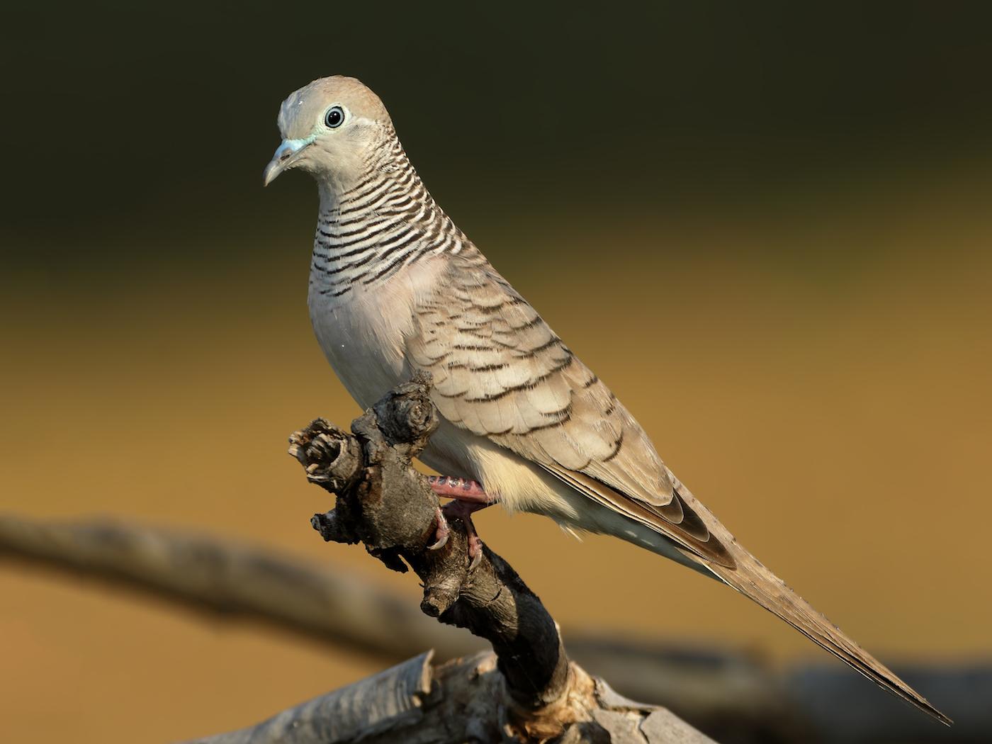Peaceful Dove (Image ID 35573)