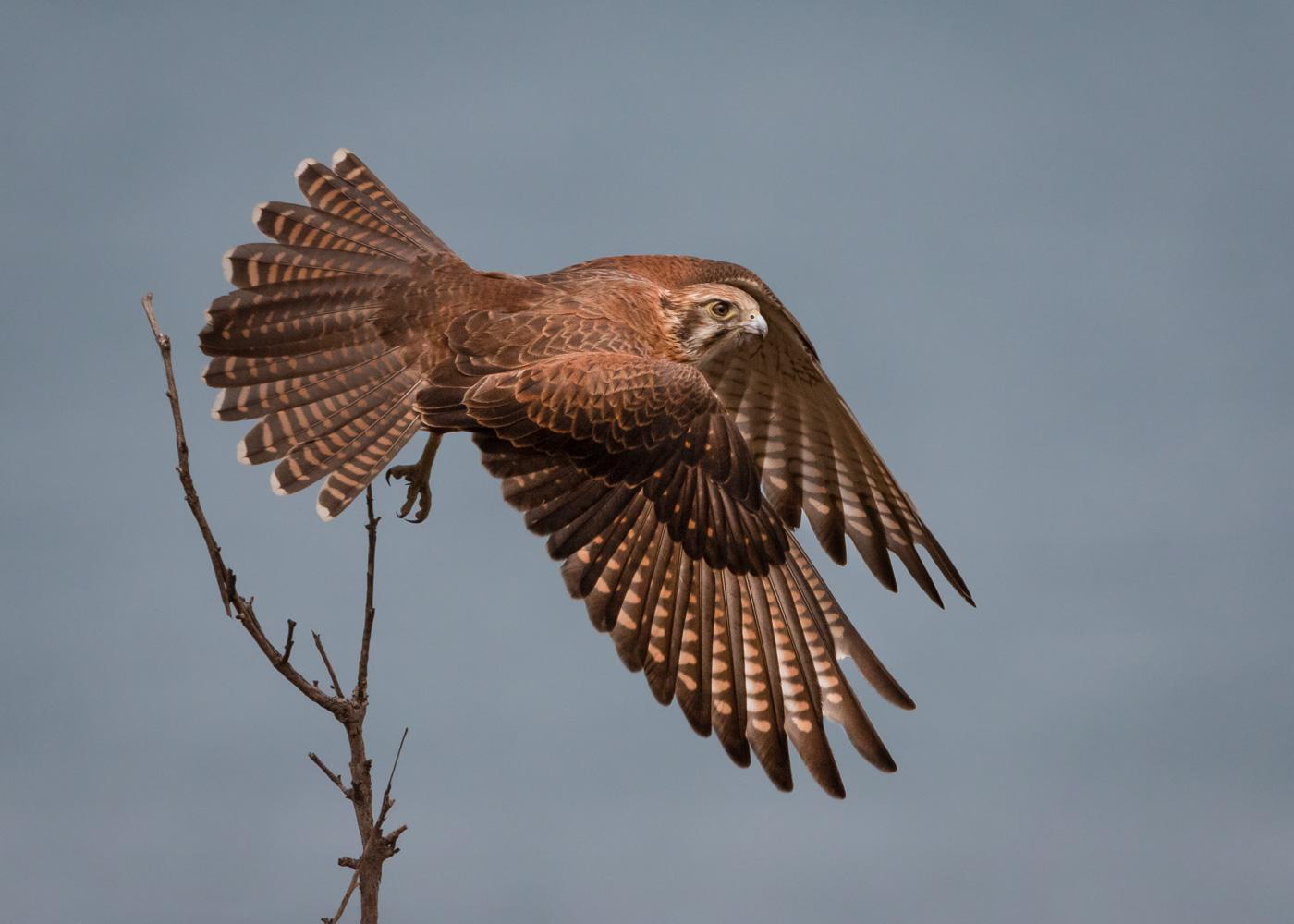 Brown Falcon (Image ID 35616)