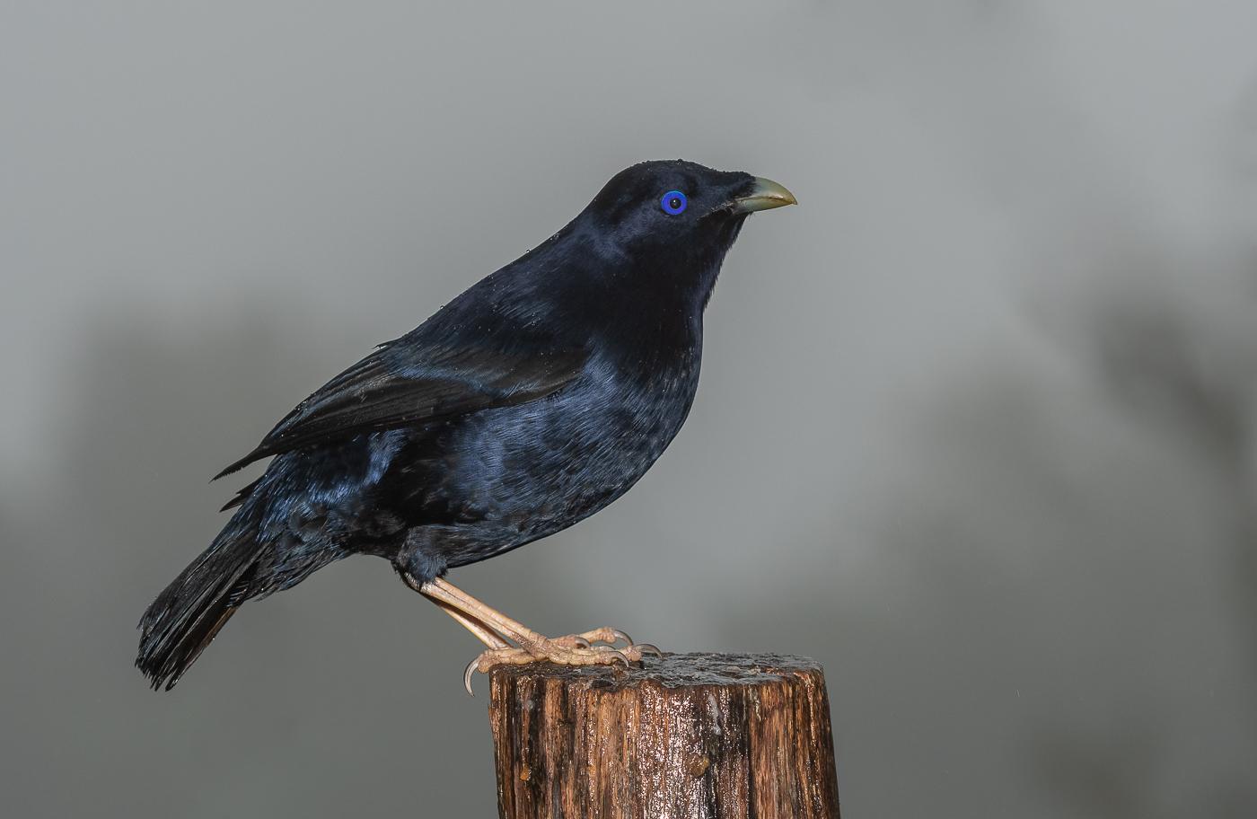 Satin Bowerbird (Image ID 36059)