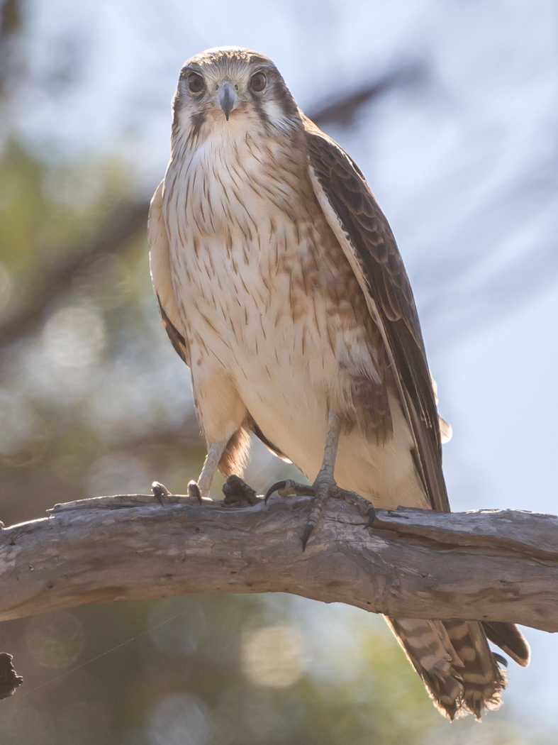 Brown Falcon (Image ID 36000)