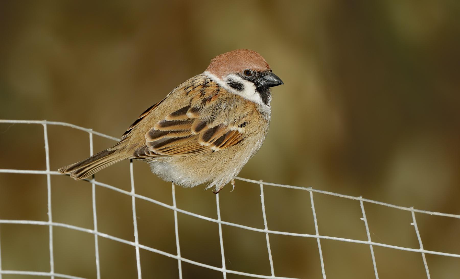 Eurasian Tree Sparrow (Image ID 35987)