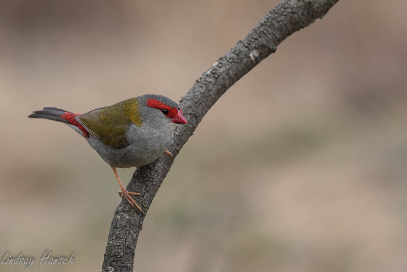 Red-browed Finch (Image ID 35941)