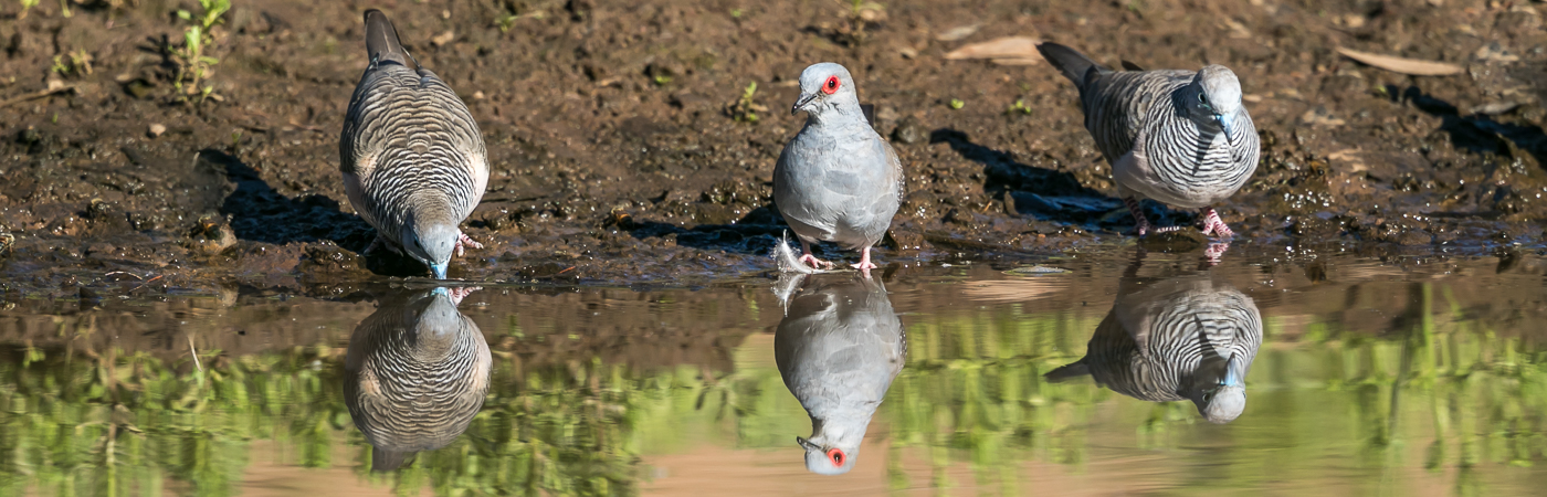 Diamond Dove, Peaceful Dove (Image ID 36061)