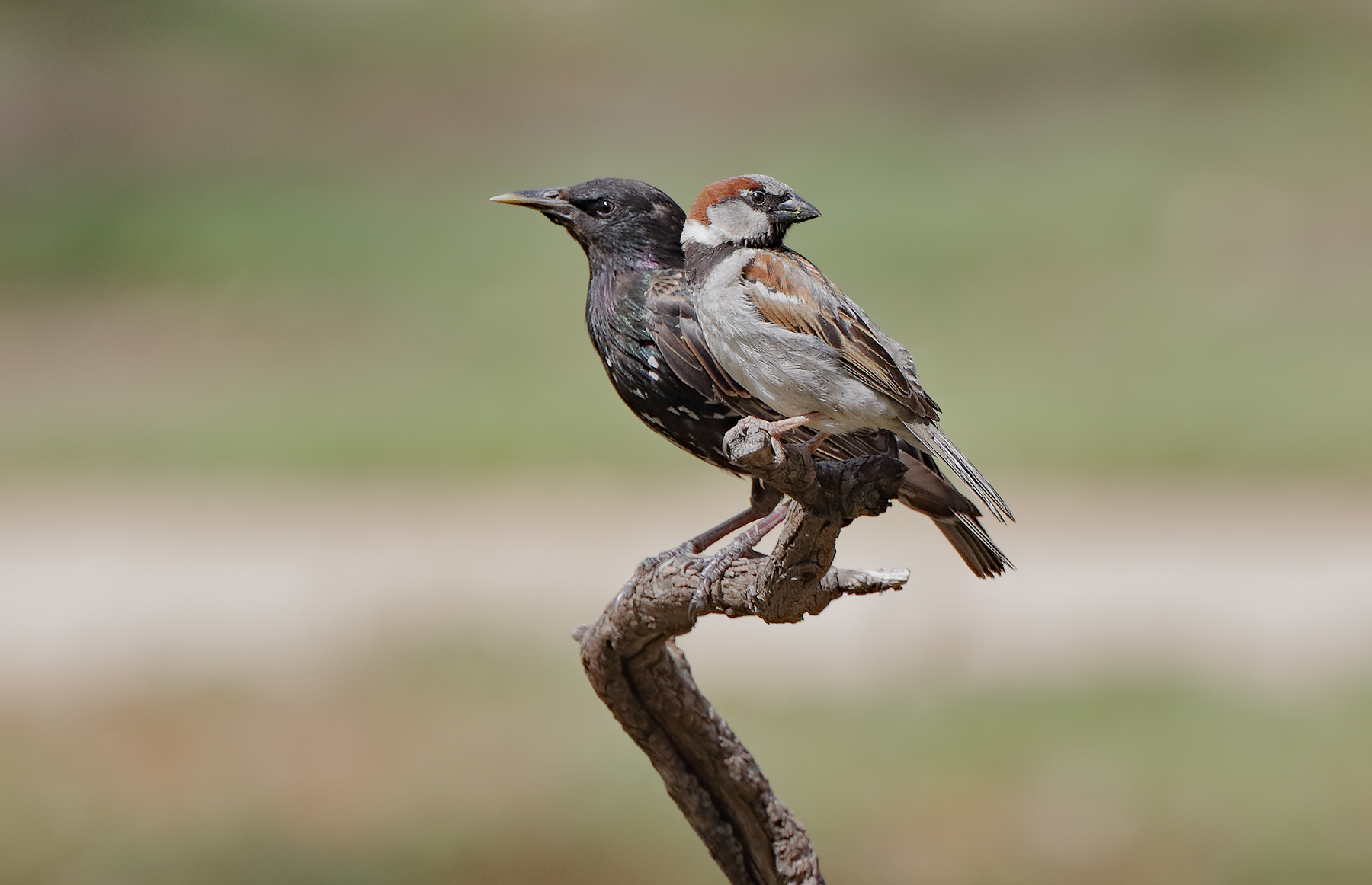 Common Starling, House Sparrow (Image ID 35989)