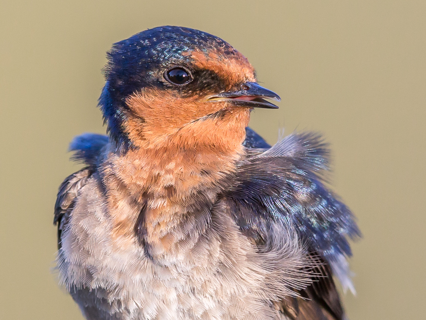 Welcome Swallow (Image ID 35983)