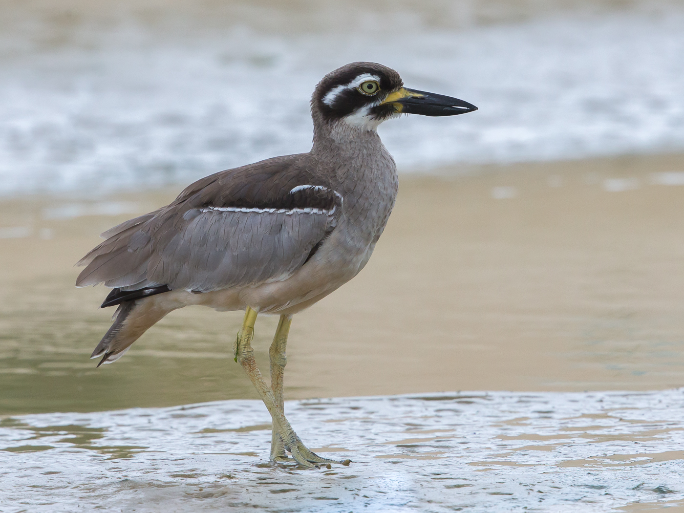 Beach Stone-curlew (Image ID 35958)