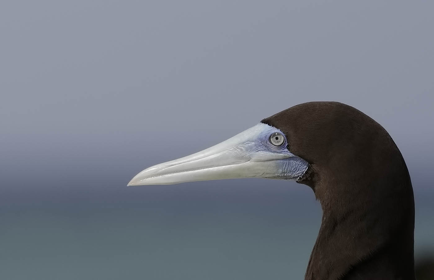 Brown Booby (Image ID 36050)