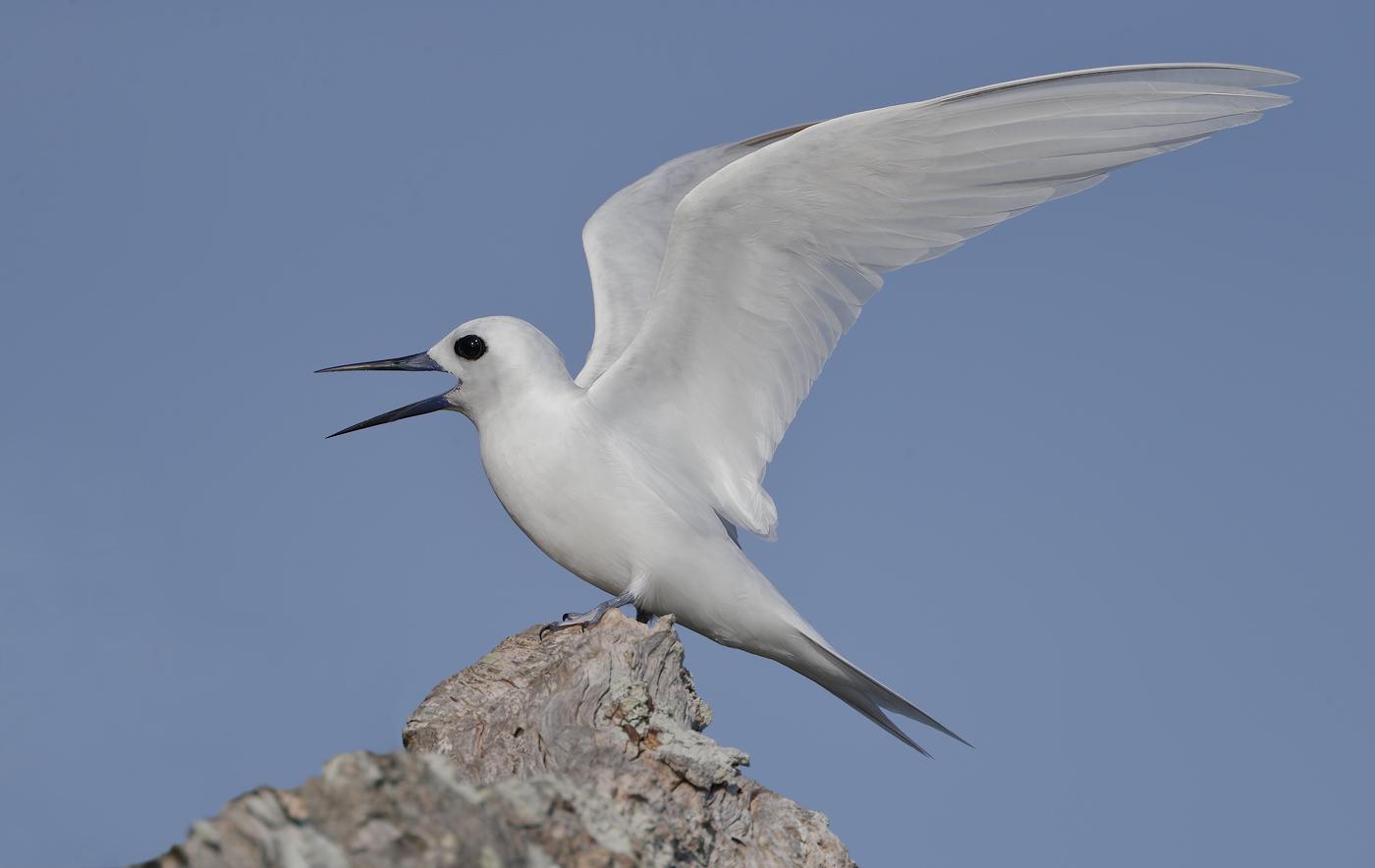 White Tern (Image ID 36014)