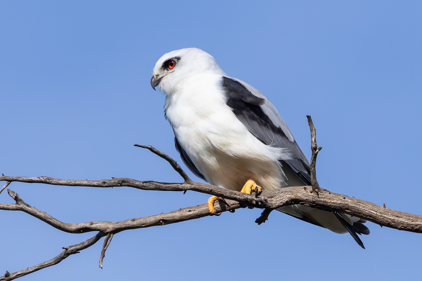 Black-shouldered Kite (Image ID 36120)