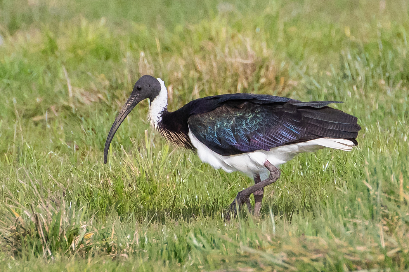 Straw-necked Ibis (Image ID 36123)