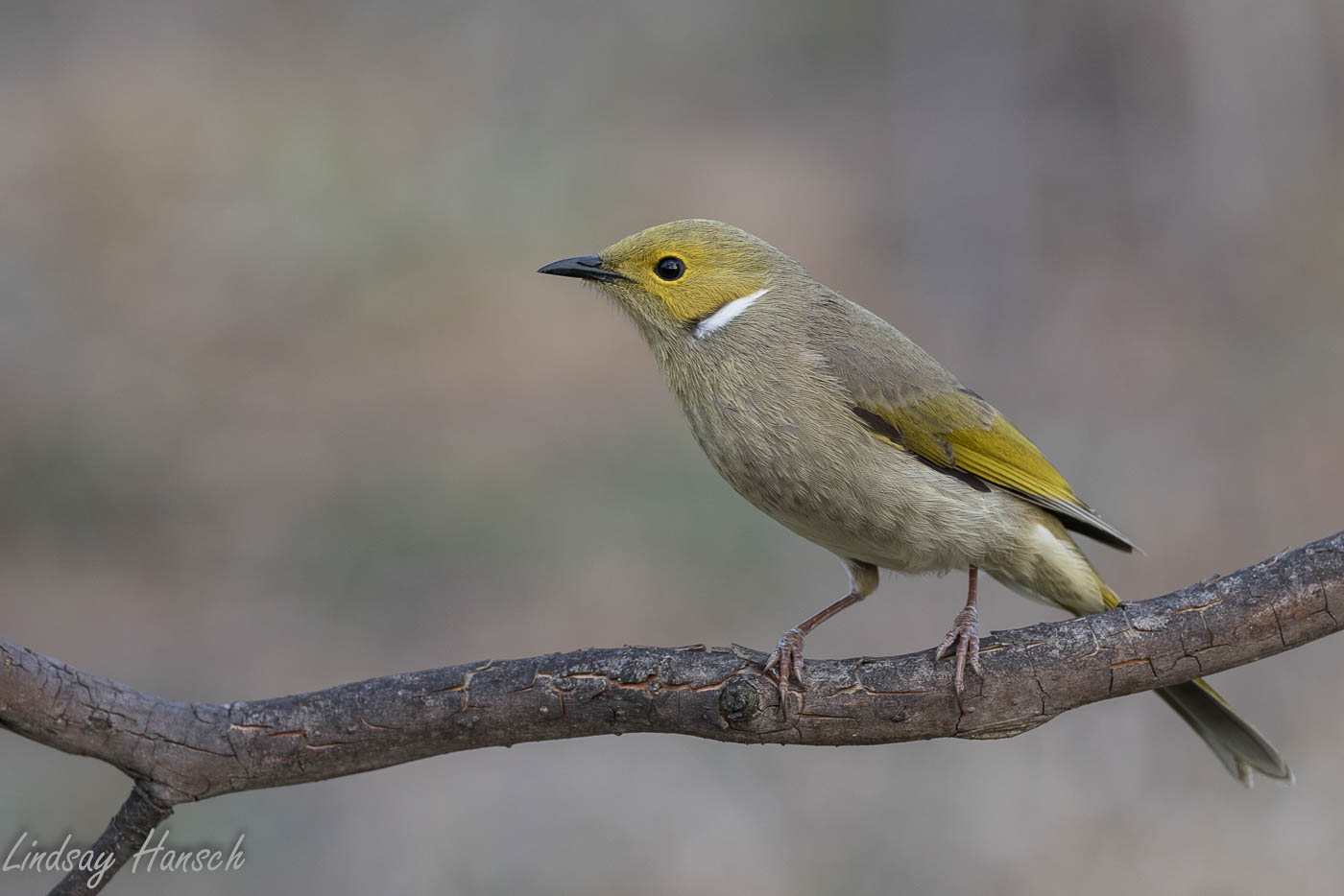 White-plumed Honeyeater (Image ID 35938)