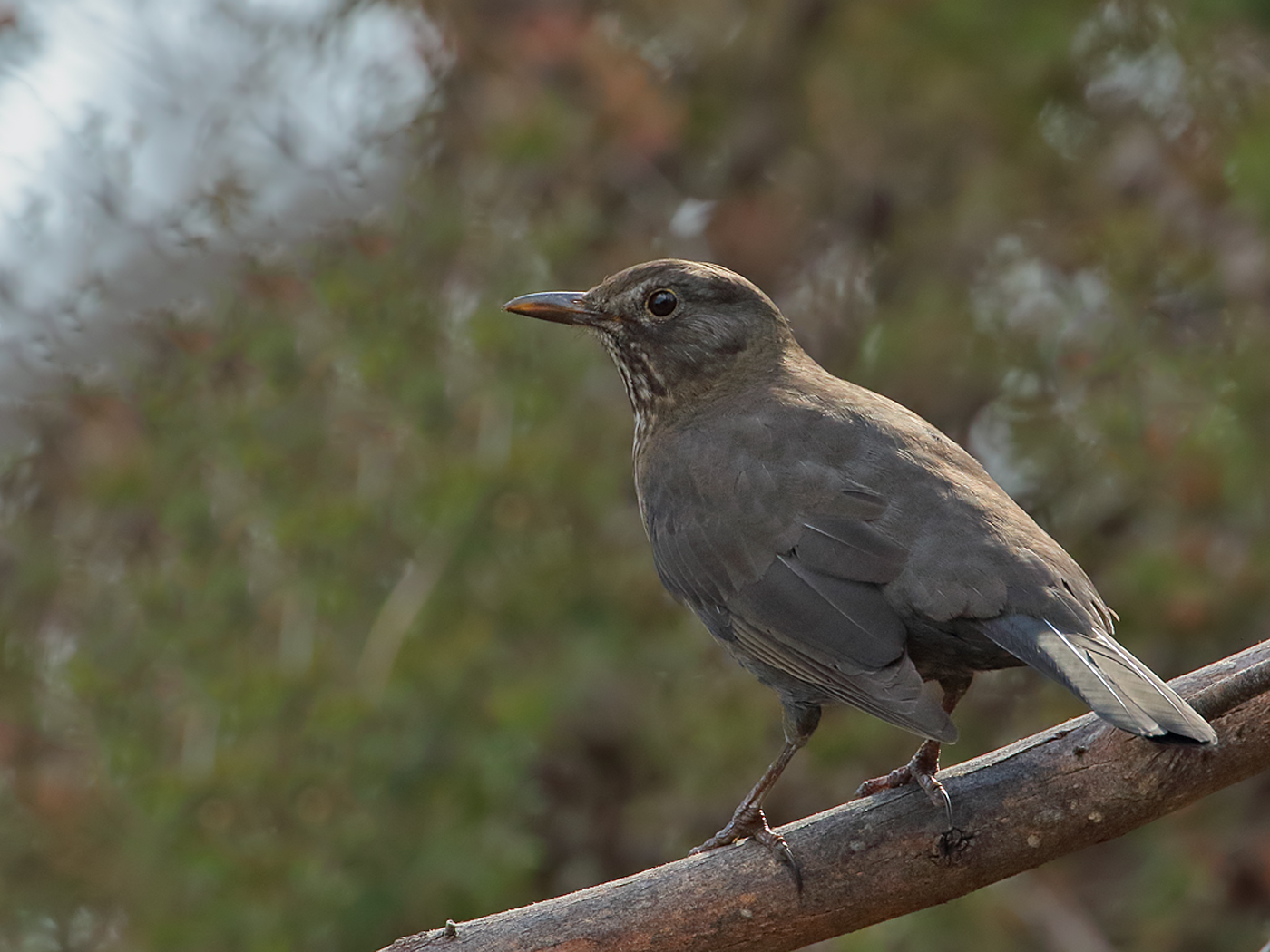 Common Blackbird (Image ID 36023)