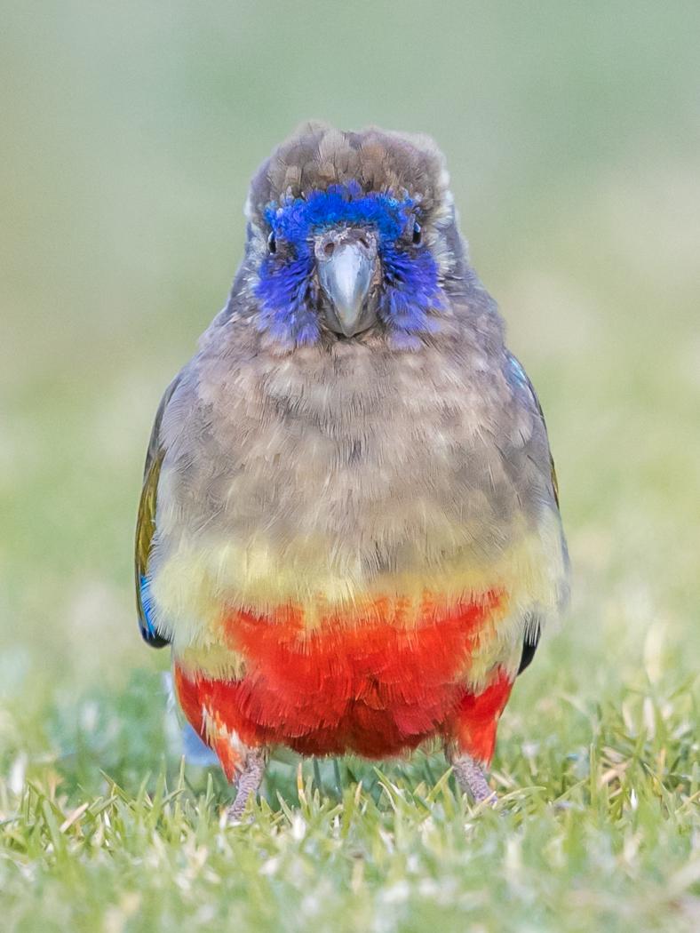 Blue Bonnet (Image ID 36079)