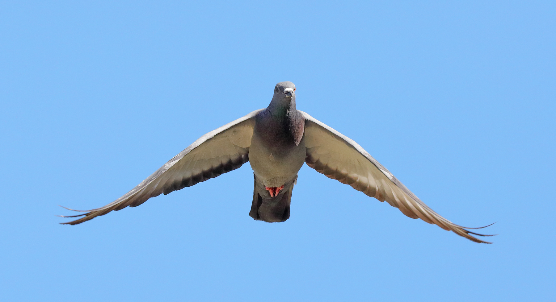 Rock Dove (Image ID 36095)