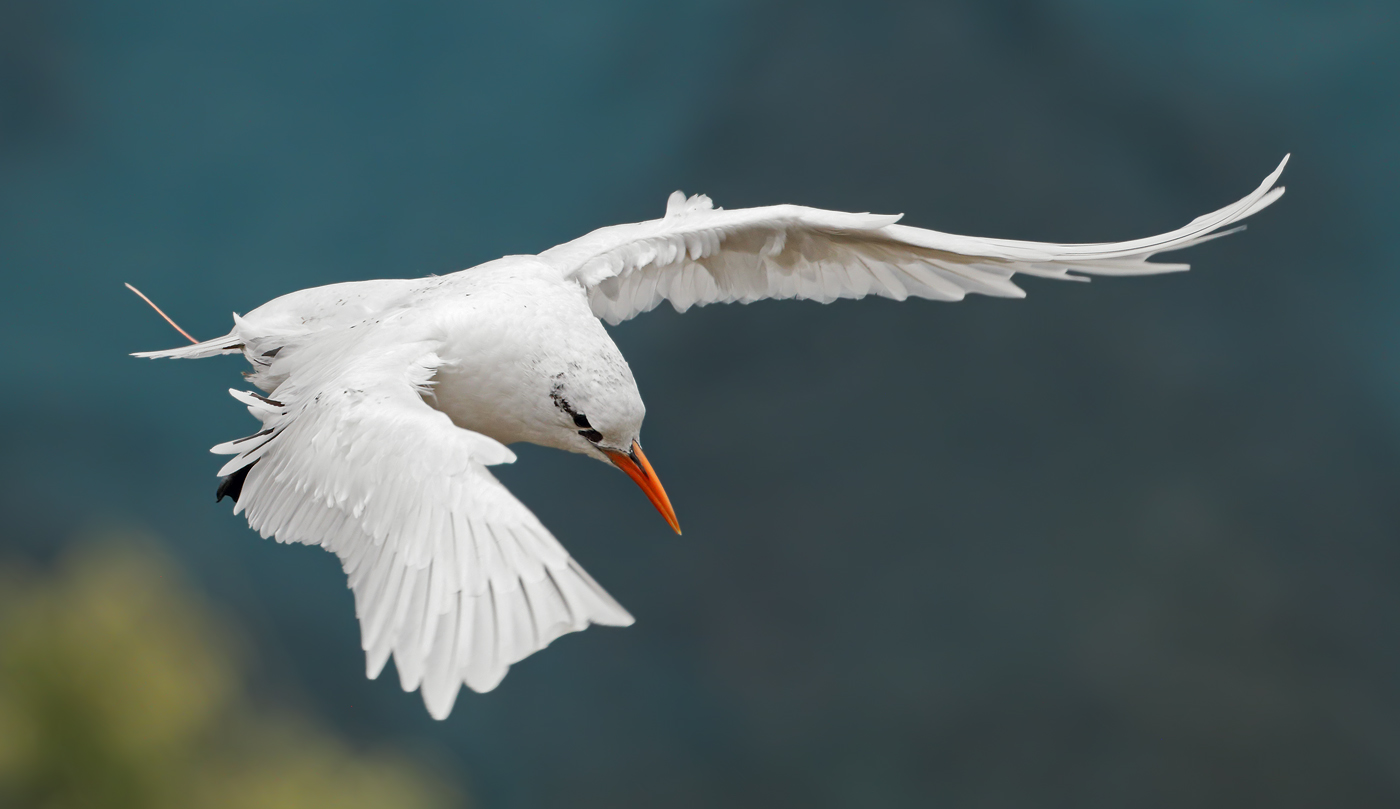 Red-tailed Tropicbird (Image ID 35974)