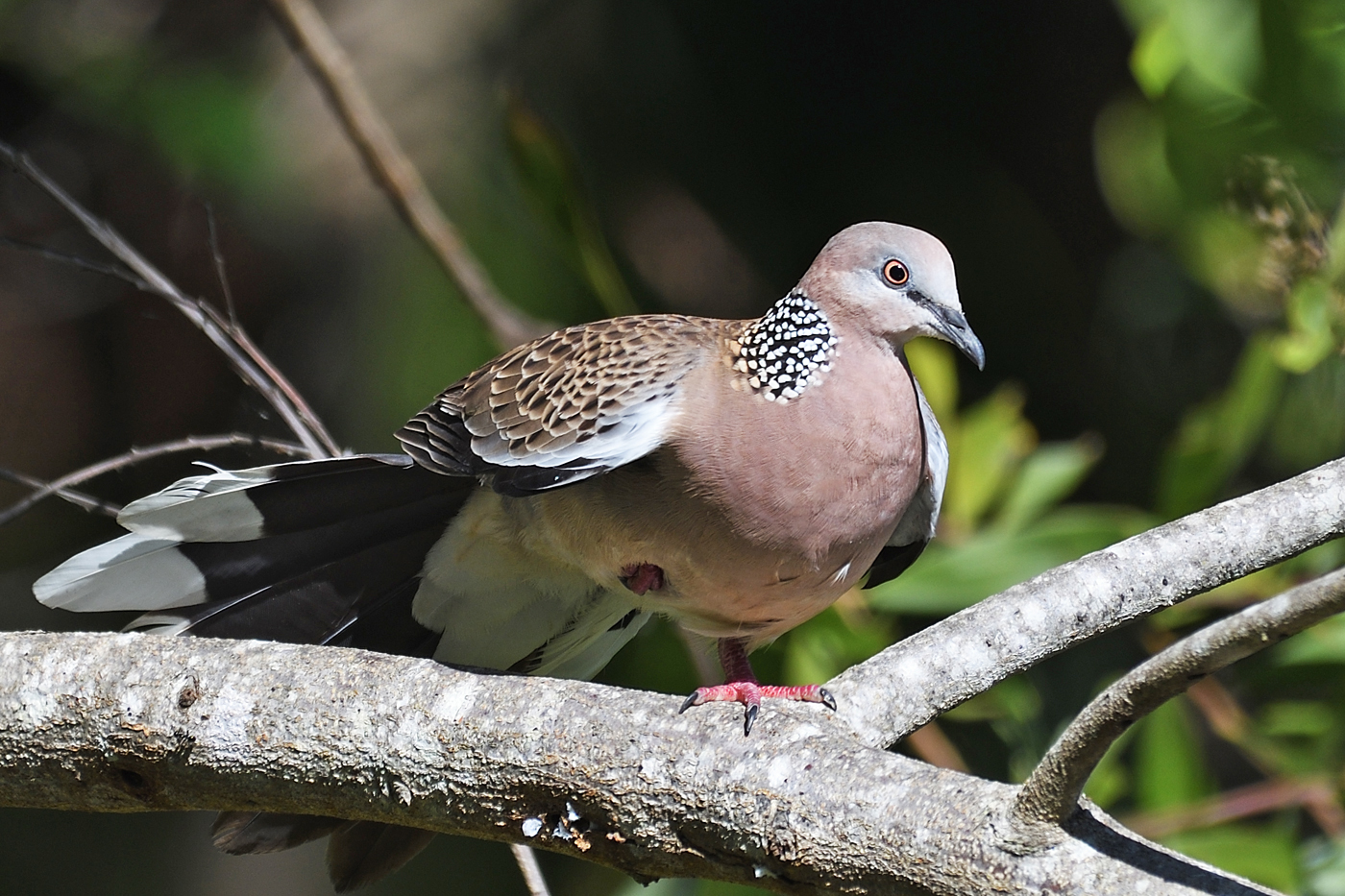 Spotted Dove (Image ID 36069)