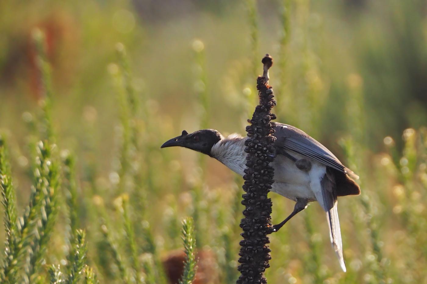 Noisy Friarbird (Image ID 36163)