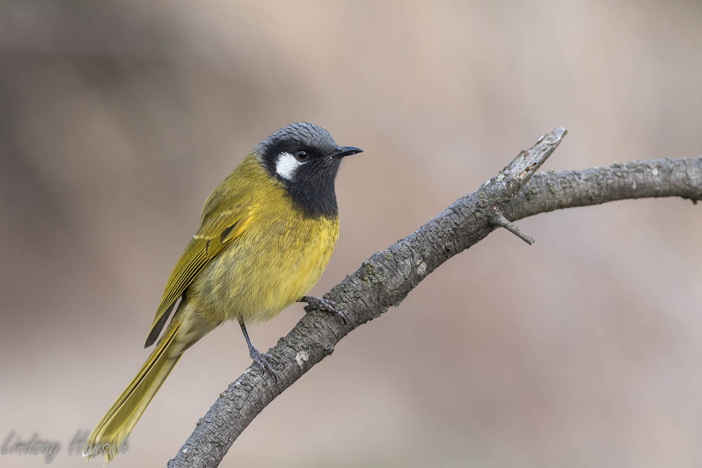 White-eared Honeyeater (Image ID 35939)