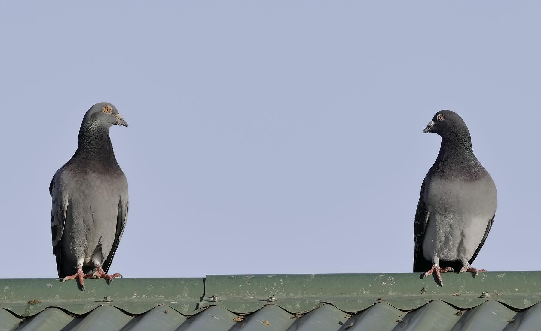 Rock Dove (Image ID 36104)