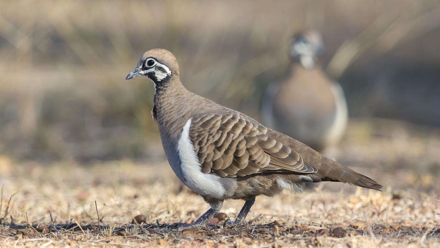 Squatter Pigeon (Image ID 35997)