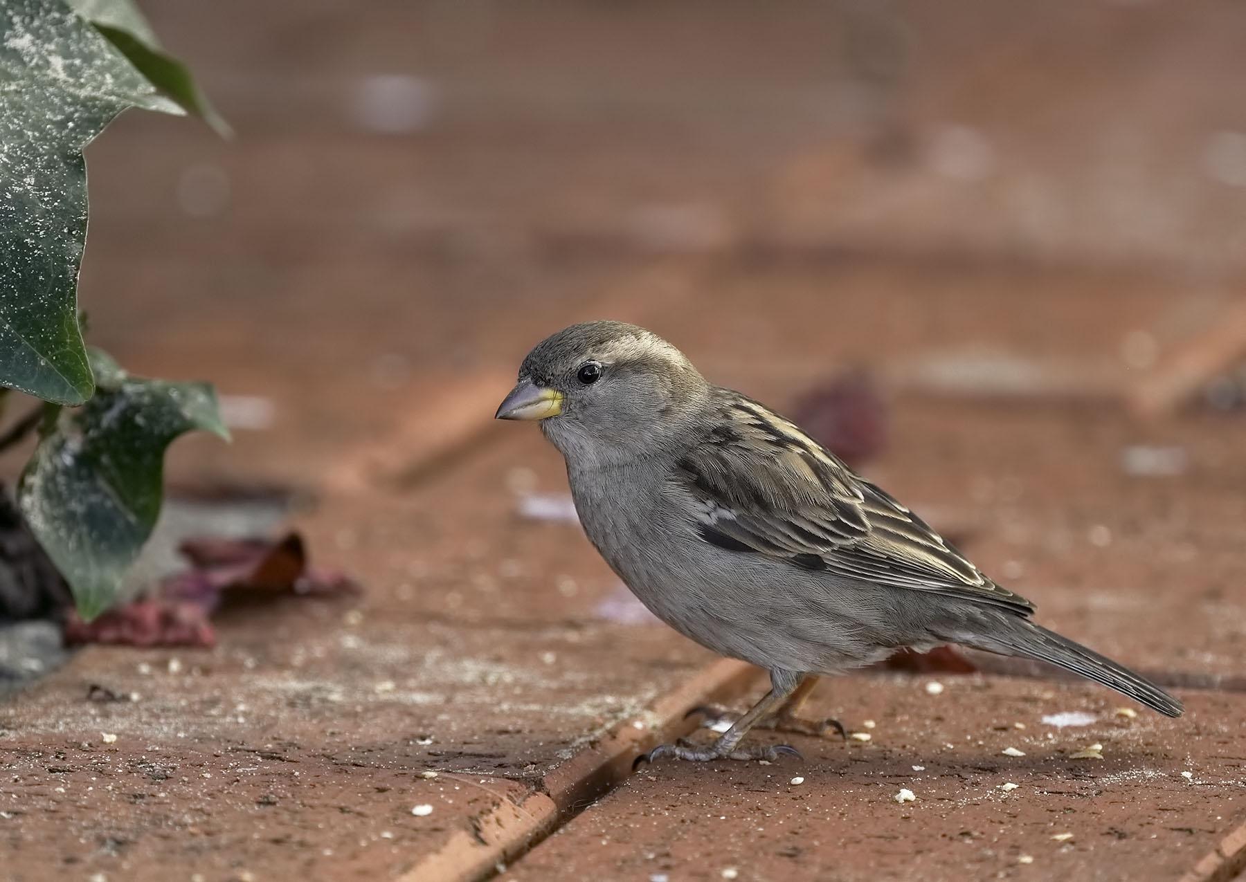 House Sparrow (Image ID 36154)