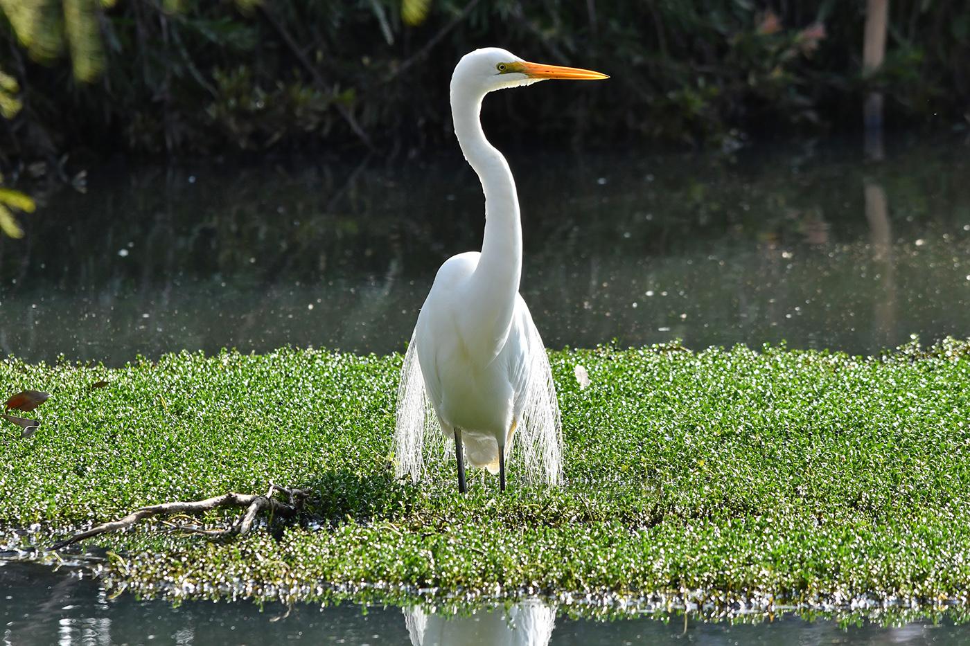 Great Egret (Image ID 36128)