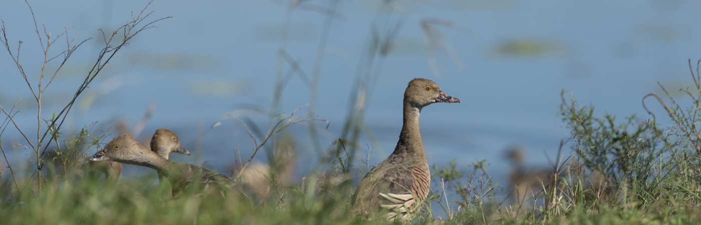 Plumed Whistling-Duck (Image ID 36030)