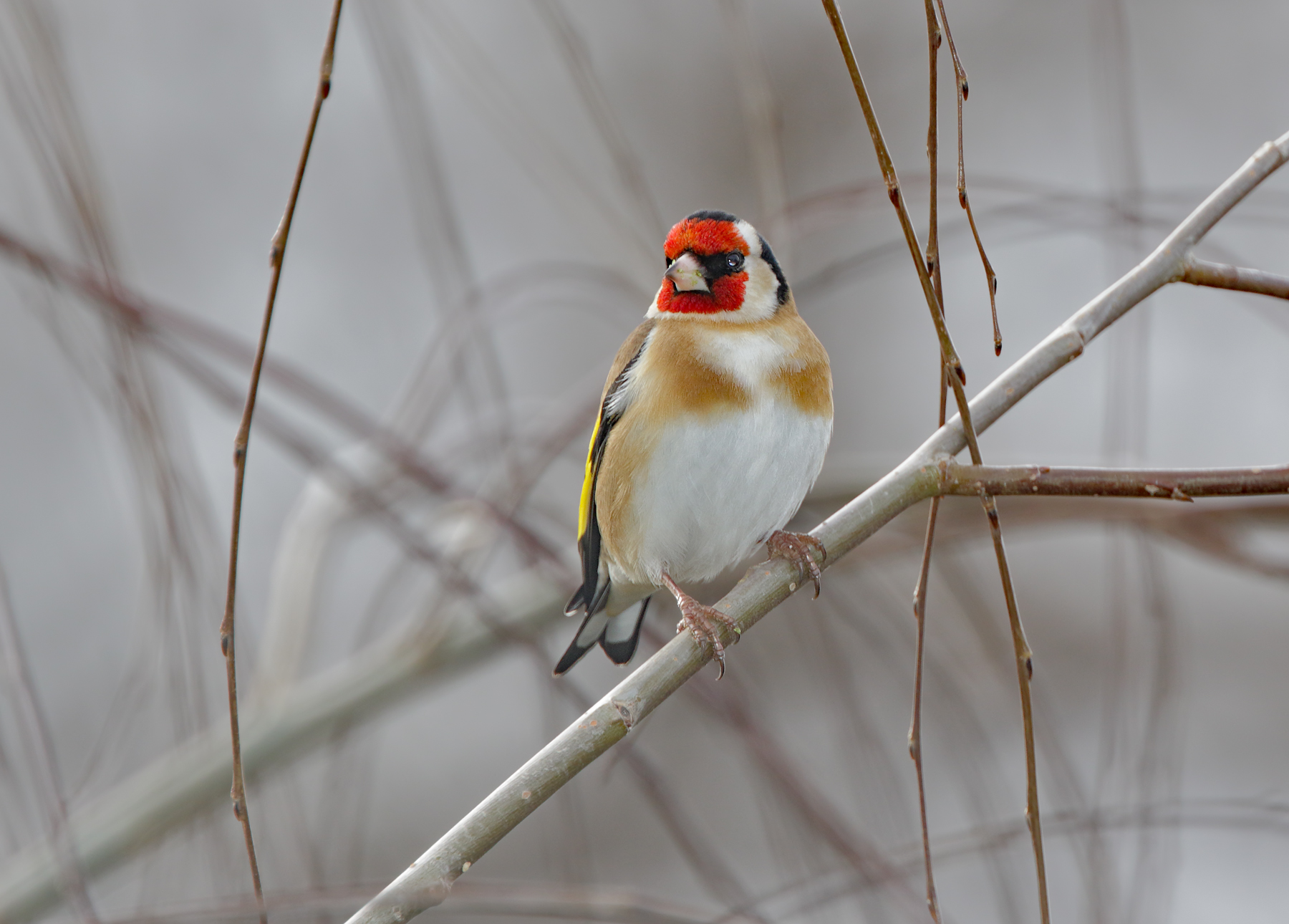 European Goldfinch (Image ID 36180)