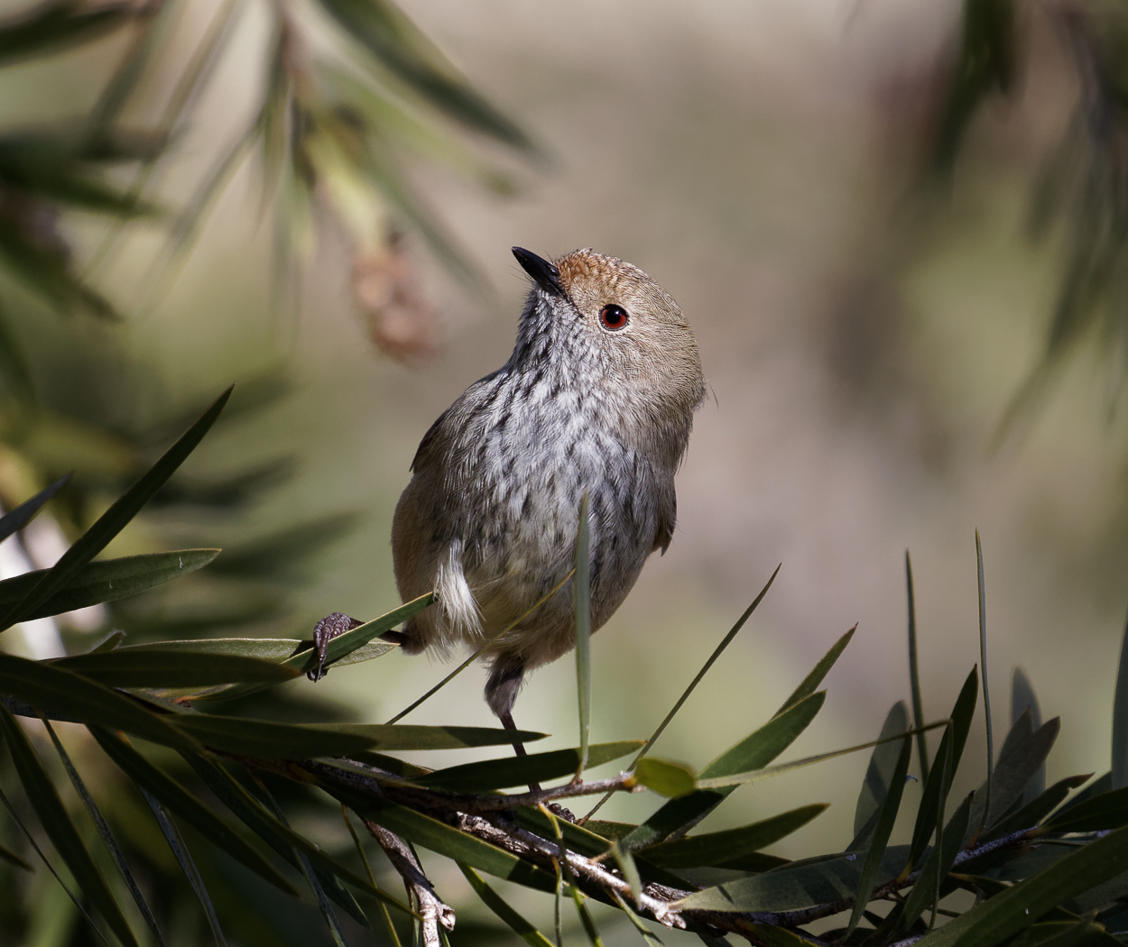Brown Thornbill (Image ID 36129)