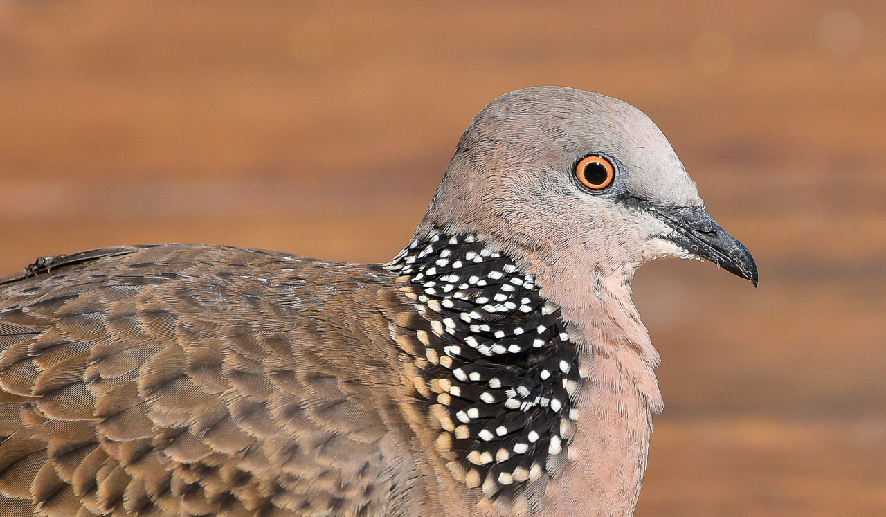 Spotted Dove (Image ID 36157)