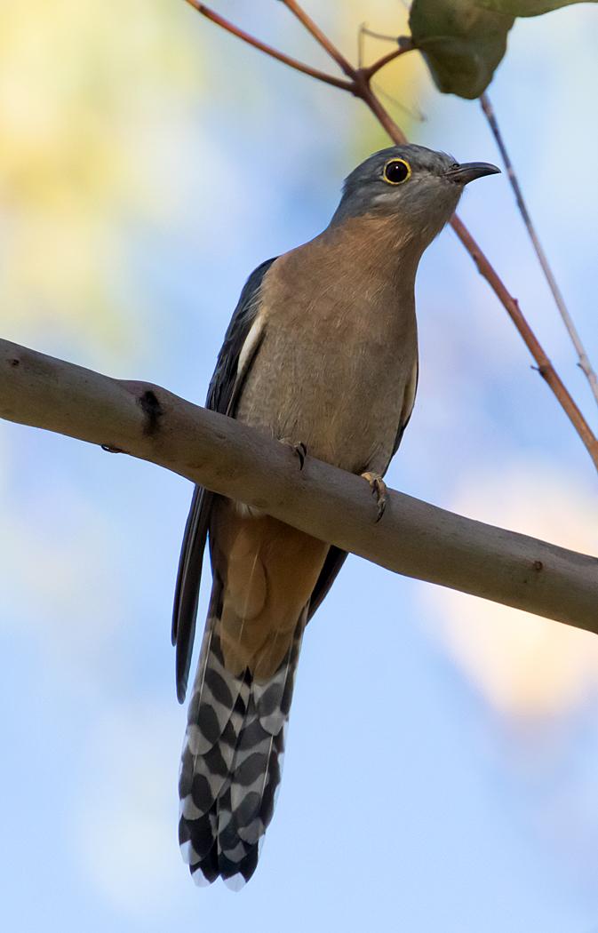 Fan-tailed Cuckoo (Image ID 36041)