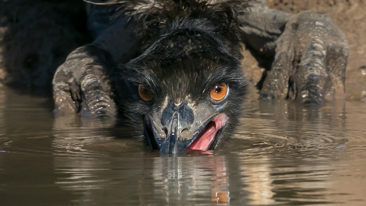 Emu (Image ID 36015)