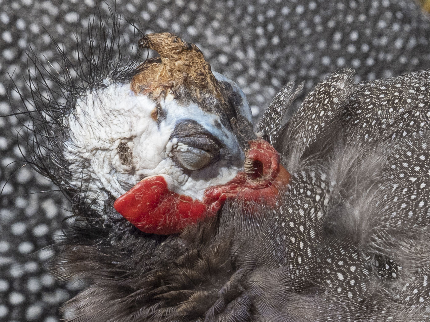 Helmeted Guineafowl (Image ID 36136)