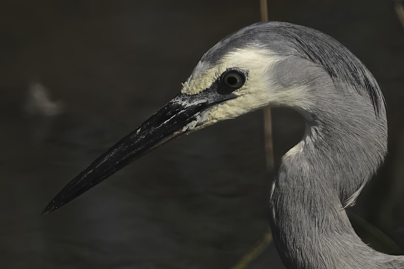 White-faced Heron (Image ID 35962)