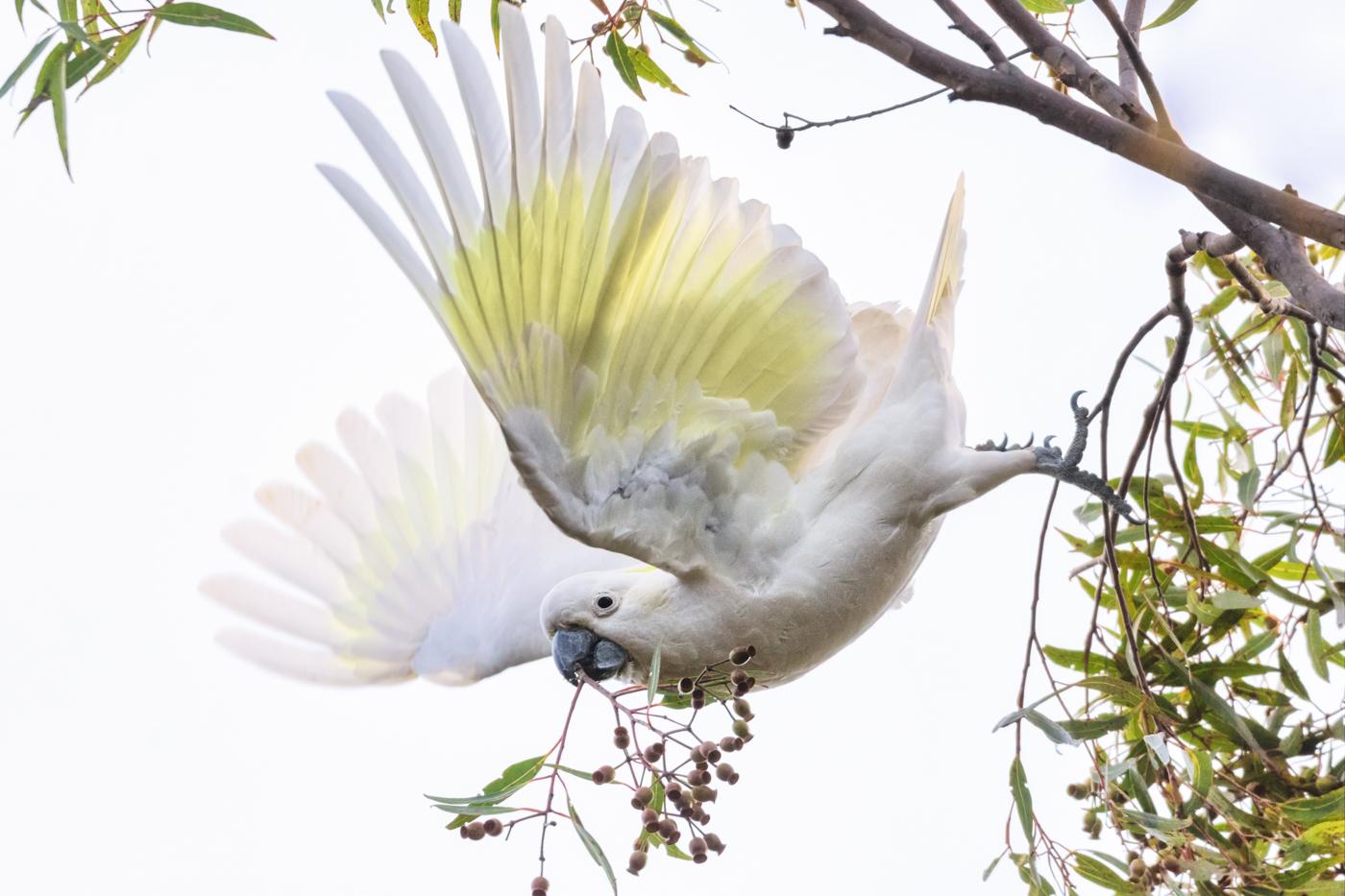 Sulphur-crested Cockatoo (Image ID 36164)