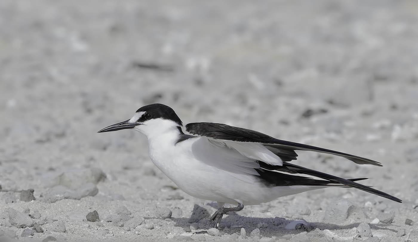 Sooty Tern (Image ID 36048)