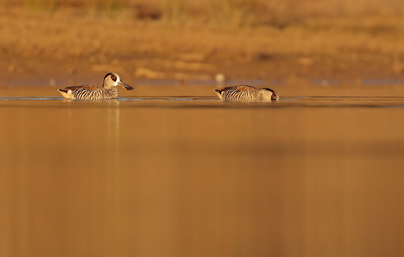 Pink-eared Duck (Image ID 35942)