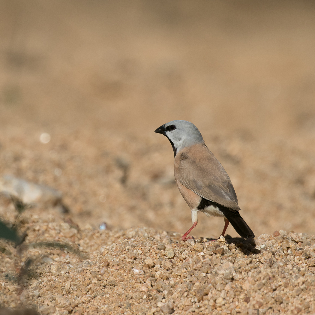 Black-throated Finch (Image ID 35986)