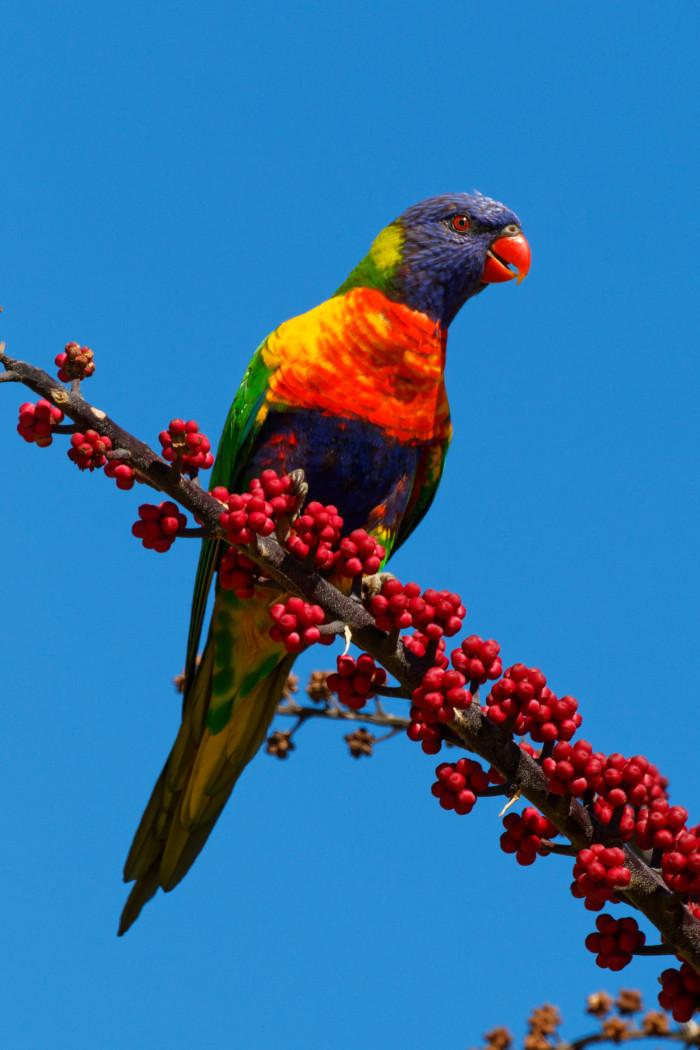 Rainbow Lorikeet (Image ID 36055)