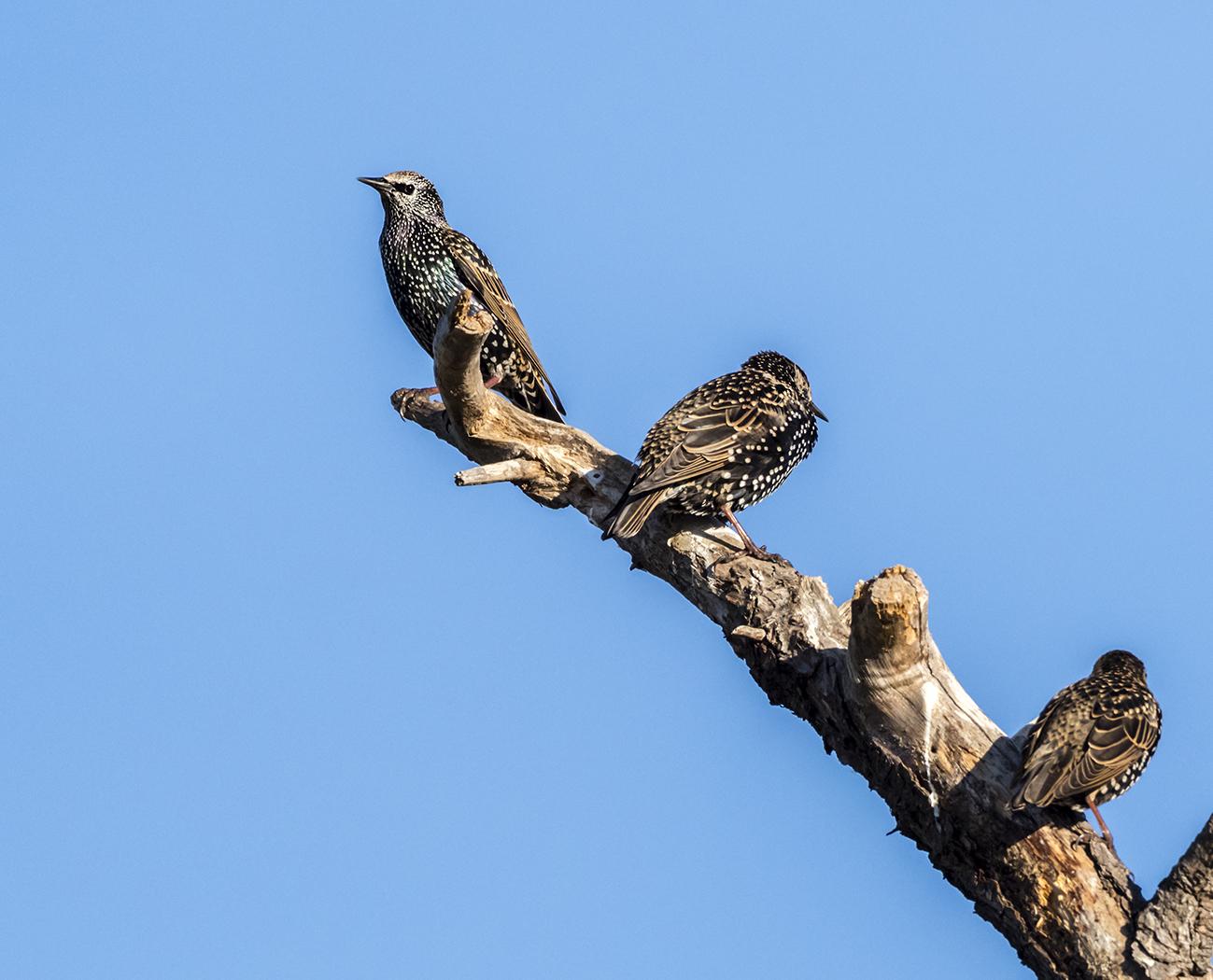 Common Starling (Image ID 35953)