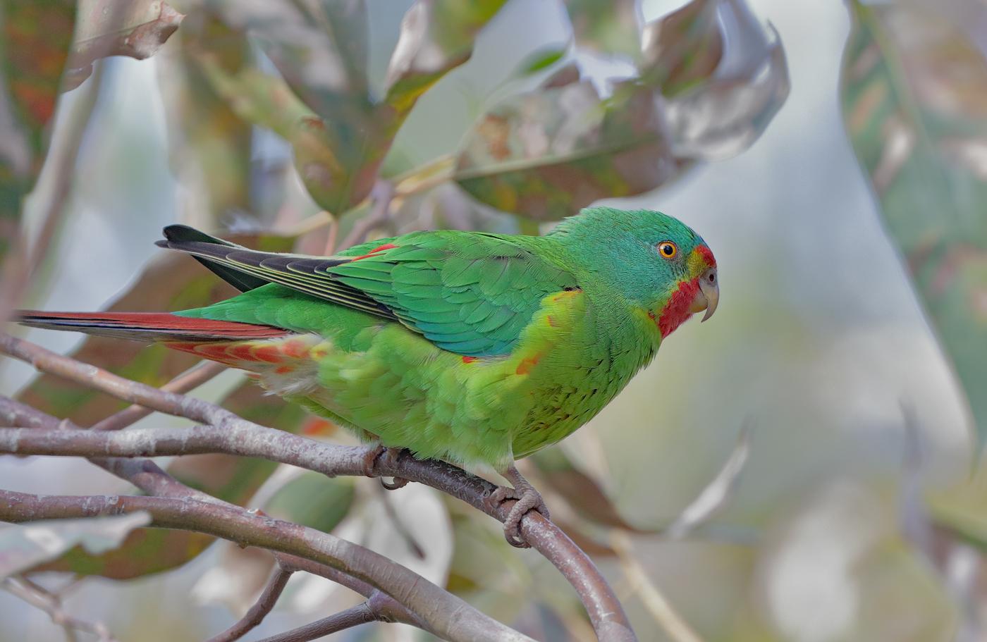 Swift Parrot (Image ID 35946)