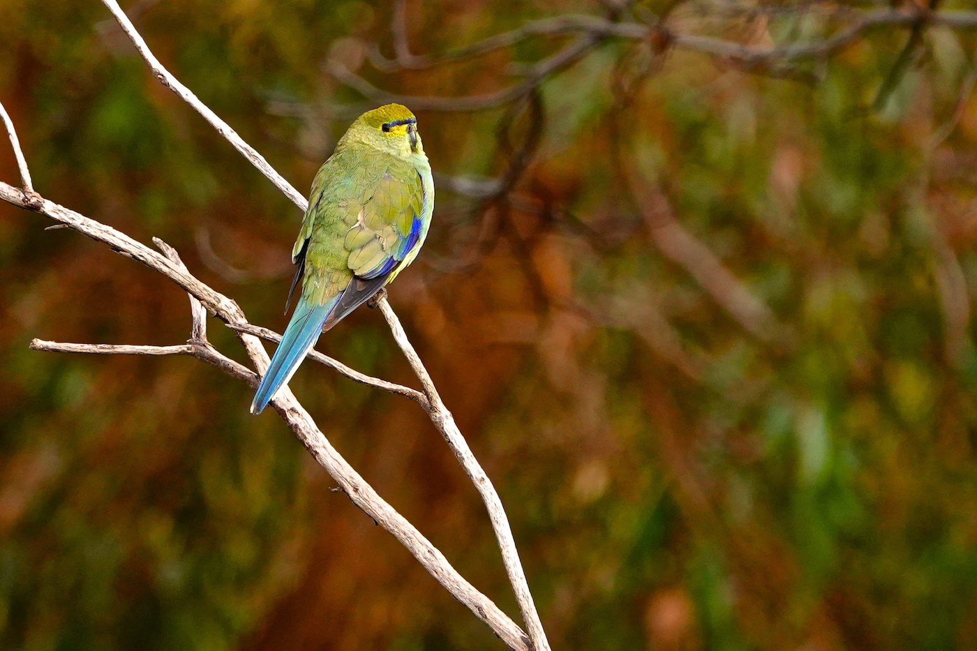 Blue-winged Parrot (Image ID 36174)